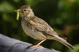 Skylark with earworm